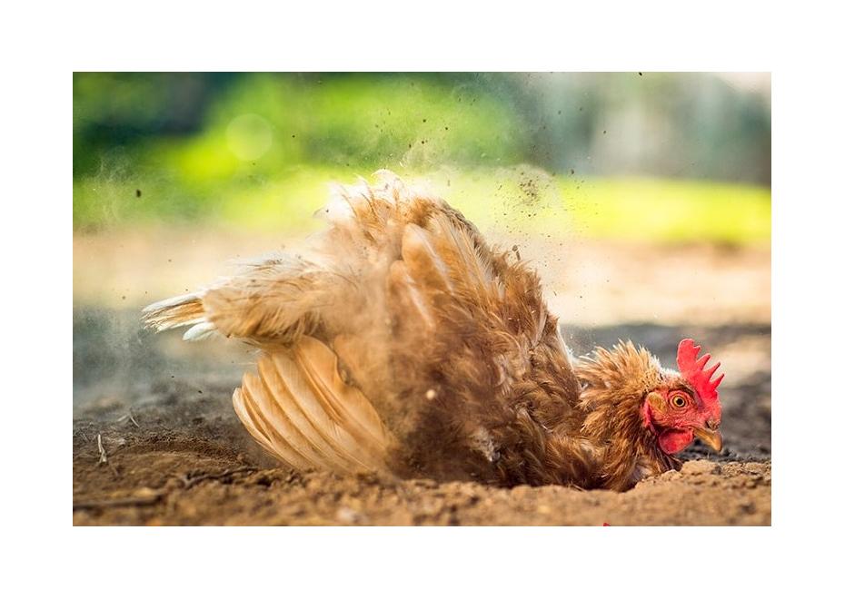 Prečo sliepkam vypadáva perie?