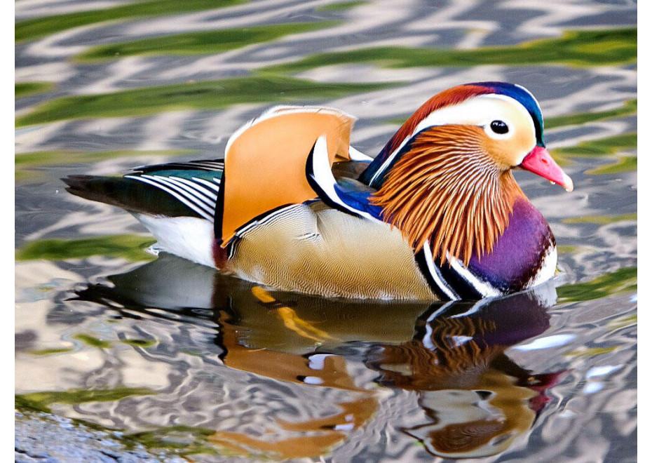 Chováme okrasné vodné vtáky