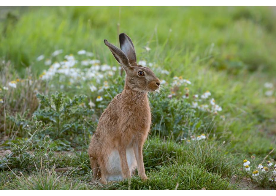Je možné chovať zajaca poľného?