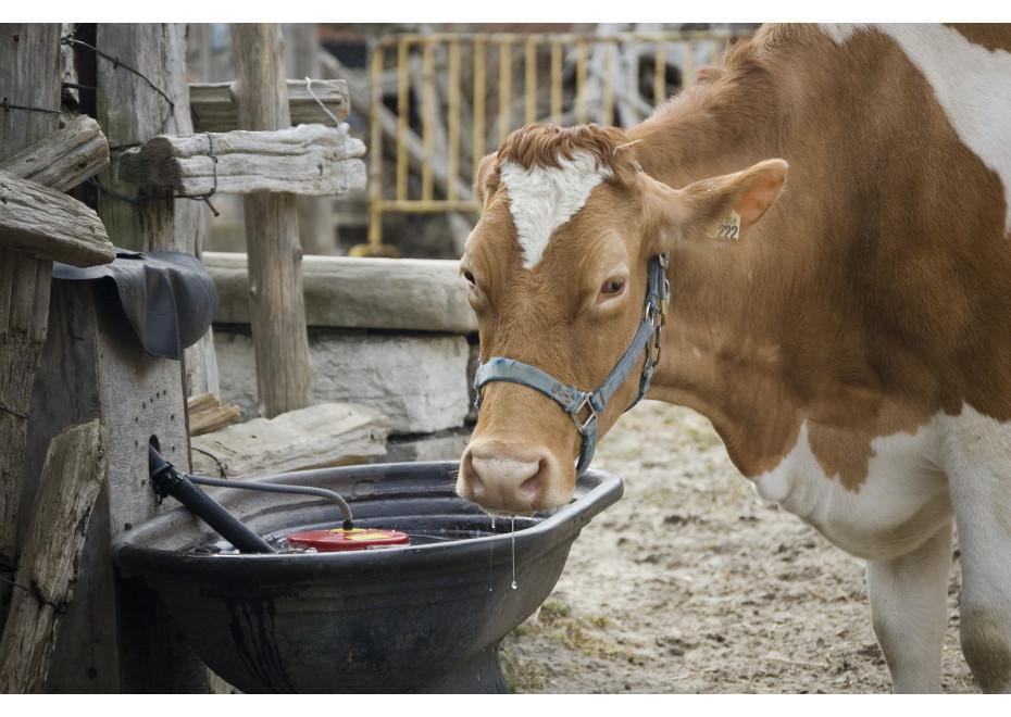 Koľko vody vypije hovädzí dobytok v lete?