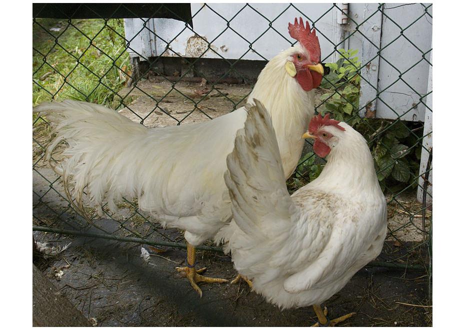 """Aké plemeno sliepky chovať """"na vajíčka""""?"""