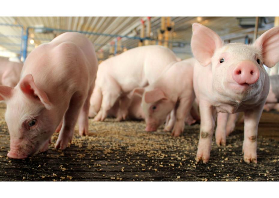 Za utratené ošípané budú chovatelia odškodnení