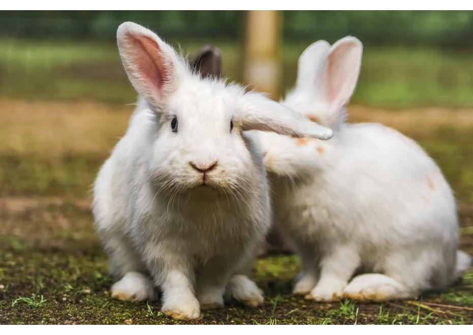 Kedy je králik agesívny?