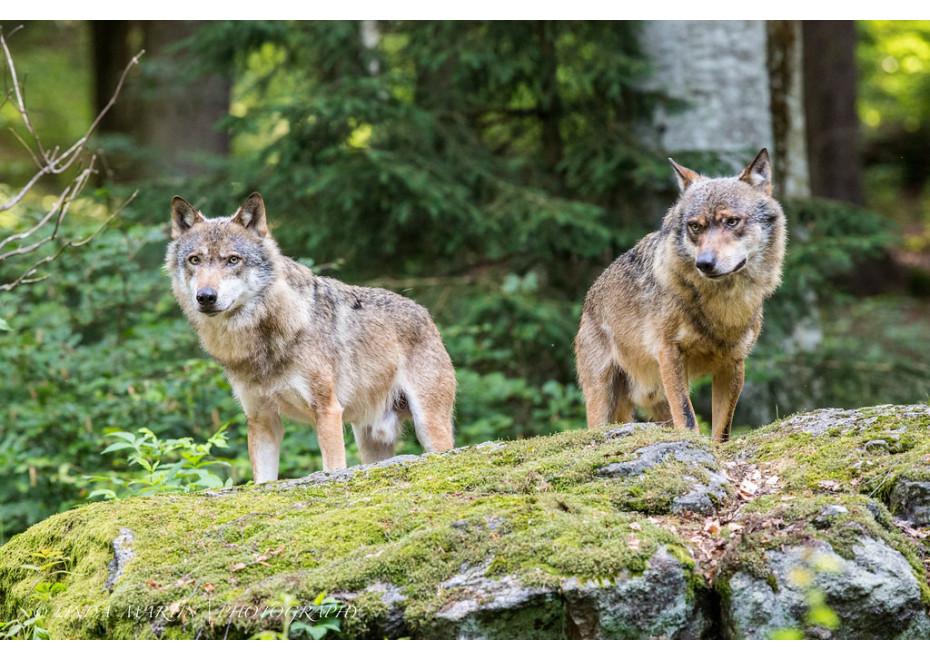 Manažment vlka dravého na Slovensku
