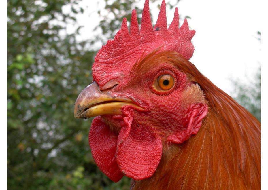 Prečo má sliepka tvrdý hrvoľ?