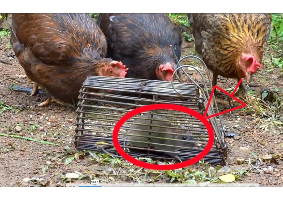 Pasce a klepce na potkany, krysy a iné hlodavce