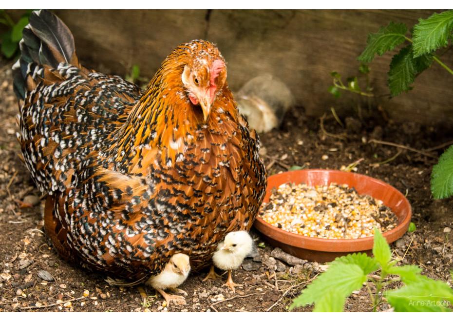 Koľko dní sedí kvočka na vajciach?