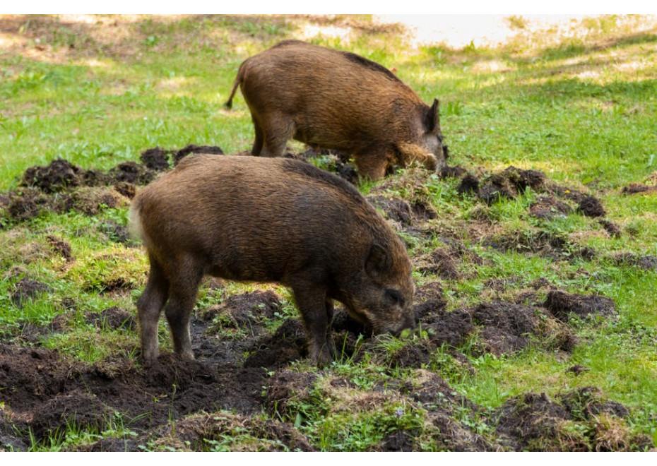 Čriedy diviakov ničia úrodu i oplotenia
