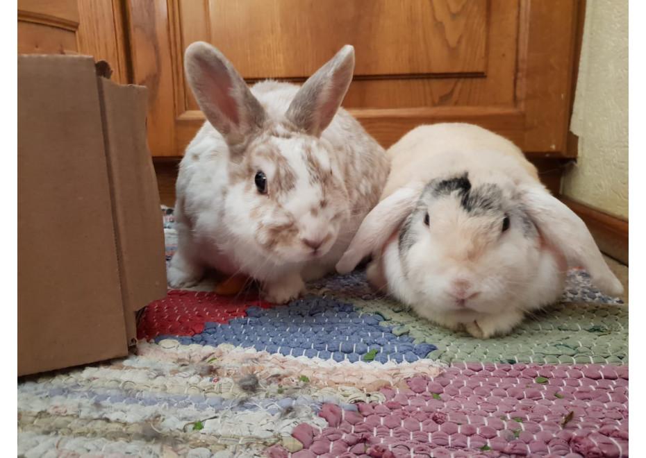 Chcete chovať malého králika?
