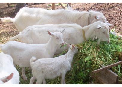 Čo tak chovať kozy na mlieko a syry?