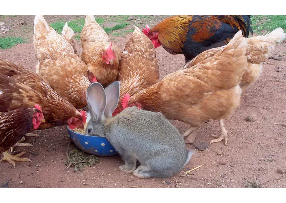 Aké výhody má kupované - komerčne vyrábané krmivo pre sliepky?