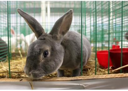 Slovenské národné plemená králikov