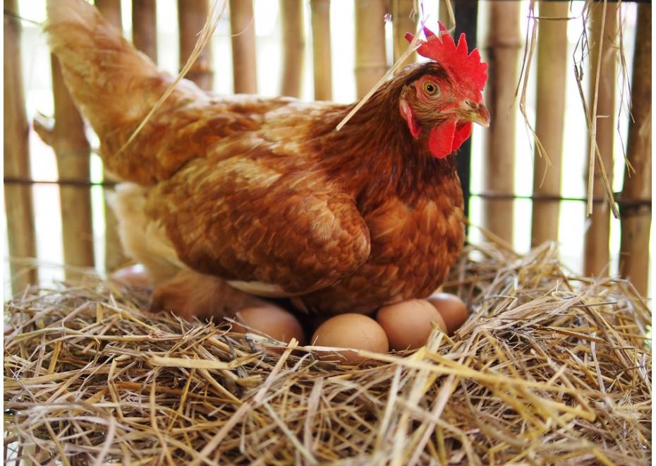 Ako sa dá ovplyvniť veľkosť znesených vajec?