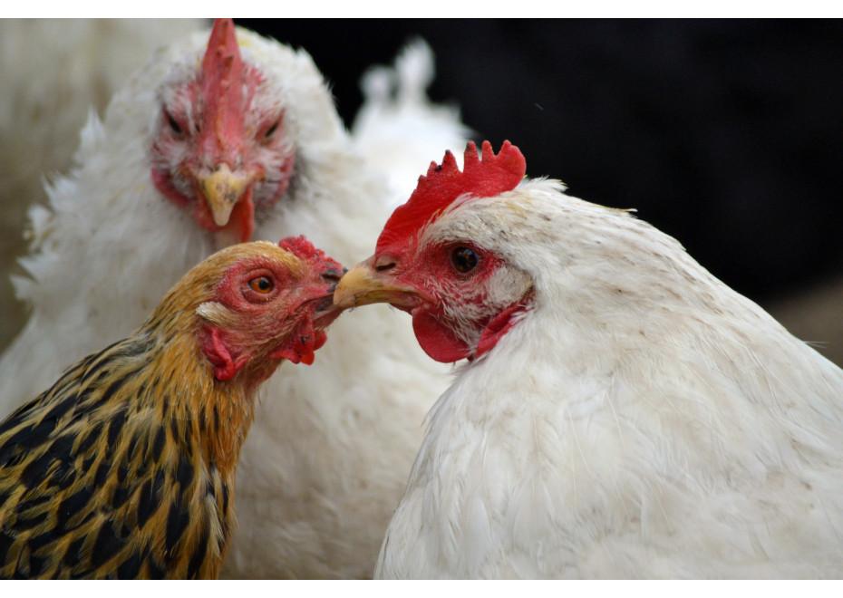Prečo majú sliepky mäkký alebo príliš tvrdý hrvoľ?