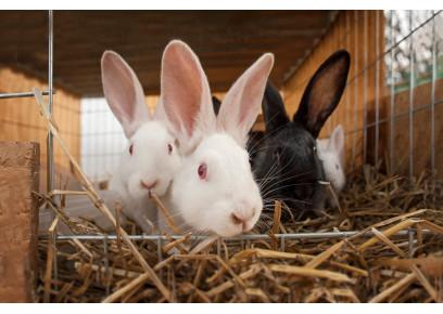 Zimné či letné vrhy králikov?