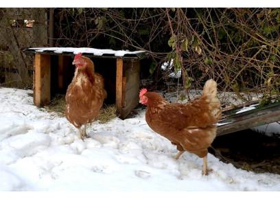 Znášajú sliepky vajcia aj v zime?