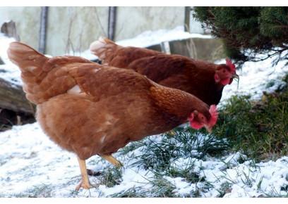 Môžu sliepky v zime zamrznúť?