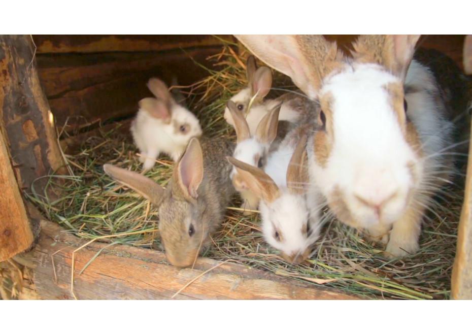 Môžu sa králiky množiť aj v zime?