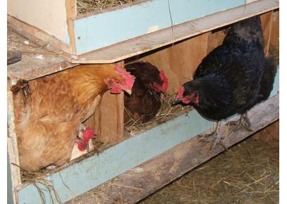 Sliepky nenesú vajcia každý deň