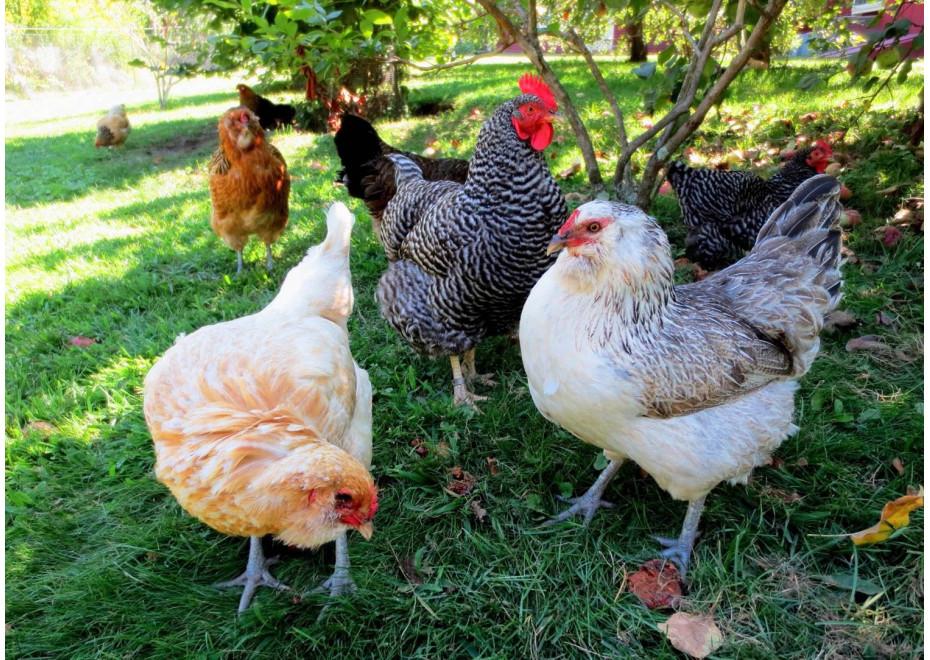Existuje priateľstvo medzi sliepkami?