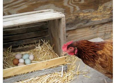 Ako zistiť, ktorá nosnica požiera vajcia?