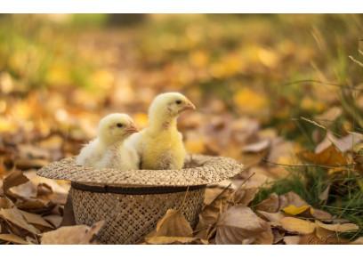 Aké výhody má liahnutie kuriatok na jeseň?
