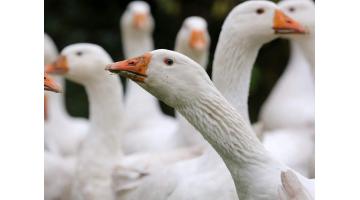 Producenti foie gras obvinili súd v USA
