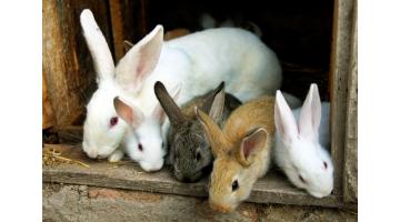 Chceme chovať králiky. Ako začať?